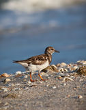 Small sandpiper hunts for food on beach Stock Photos