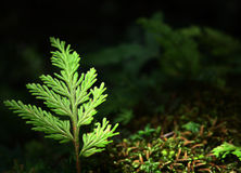 A small sapling gradually growing in the forest. A small sapling gradually growing in the forest Royalty Free Stock Images