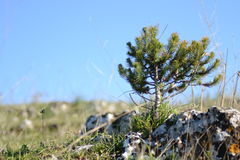 Small sapling pine royalty free stock photography