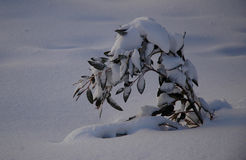 A small sapling weighed down by snow. A small Australian gum tree covered with snow. It is bending under the weight of the snow. The snow around it is untouched Stock Photos