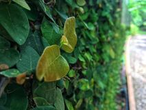 Small sapling yellow climbing fig leaves growing and cover on wall royalty free stock image