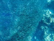 Small sardine carousel in coral reef shore. Massive fish school underwater photo. Pelagic fish school swim in seawater. Small sardine carousel in coral reef royalty free stock image