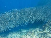 Small sardine school in open sea water. Massive fish school underwater photo. Pelagic fish school swimming in seawater royalty free stock images