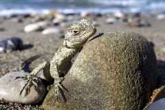 Small saurian on the sea shore Royalty Free Stock Image