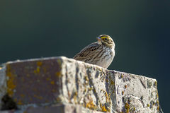 Small savannah sparrow. A small savannah sparrow is perched on a brick structure near Hauser, Idaho Stock Photo