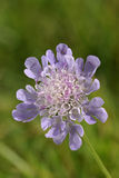 Small Scabious Flower Royalty Free Stock Images