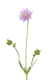 Small scabious (Scabiosa columbaria) Stock Images