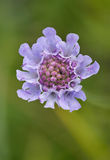 Small Scabious Stock Photography