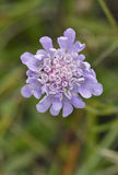 Small Scabious Royalty Free Stock Photo