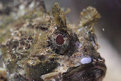 Small scaled scorpionfish Stock Image