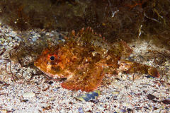 Small scaled scorpionfish Stock Photos