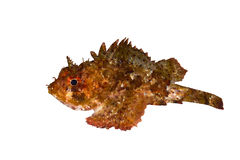 Small scaled scorpionfish Stock Photography