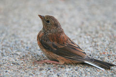 Small scared sparrow on the ground Stock Photography