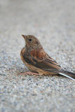 Small scared sparrow on the ground Royalty Free Stock Photography