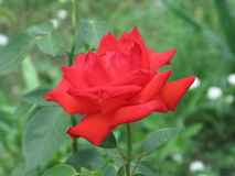 Small scarlet rose Stock Photo