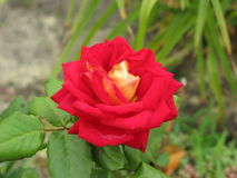 Small scarlet rose Royalty Free Stock Photo