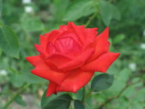 Small scarlet rose Royalty Free Stock Photos