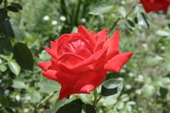 Small scarlet rose Stock Images