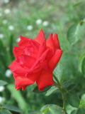 Small scarlet rose Royalty Free Stock Image