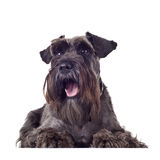Small schnauzer Royalty Free Stock Image