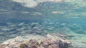 Small school of Black-striped salema in Galapagos National Park, Ecuador stock video footage