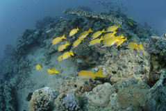 Small school of Blue striped snapper Stock Photo