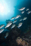 A small school of Bluescale emperor. (Lethrinus nebulosus) swimming up the reef. Red Sea, Egypt Royalty Free Stock Photography