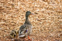 Mother duck with baby on wood chips. Small school of ducks walking on wood orange and brown chips royalty free stock photo