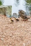 Small school of ducks on wood chips. Small school of ducks walking on wood orange and brown chips stock photography