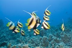 Small School Of Tropical Red Sea Bannerfish. Royalty Free Stock Photos