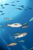 Small School Of Tropical Twinspot Snapper. Royalty Free Stock Photo