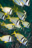 Small school of porkfish swimming. Stock Images