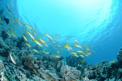 Small school of Red sea goatfish Stock Image