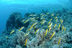 Small school of Red sea goatfish Stock Photo