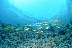 Small school of Red sea goatfish Stock Photography