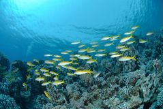 Small school of Red sea goatfish Stock Photos