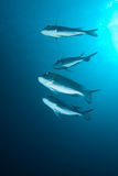 A small school or shoal of Bigeye emperor Royalty Free Stock Photography