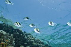 Small school of striped Sergeant major fish. Stock Photo