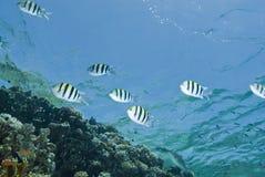 Small school of striped Sergeant major fish. Stock Photo