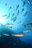 Small school of tropical Twinspot snapper. Royalty Free Stock Photography