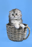 Small Scottish fold kitten Stock Photos