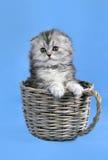 Small Scottish fold kitten Stock Photos