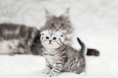 Small scottish fold kitten and big blur maine coon cat Royalty Free Stock Images