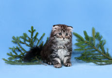 Small Scottish fold kitten Royalty Free Stock Images
