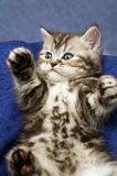 Small scottish fold kitten Royalty Free Stock Images