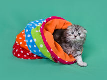 Small scottish fold kitten Stock Image