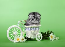 Small scottish fold kitten on green  bsckground Royalty Free Stock Images