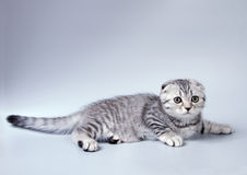 Small scottish fold kitten Royalty Free Stock Photos