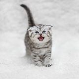 Small scottish fold kitten posing on white background Royalty Free Stock Images