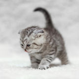 Small scottish fold kitten posing on white background Stock Photos
